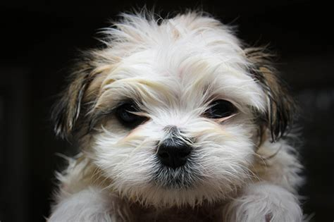 how much do maltese puppies cost how much do maltese puppies cost howmuchisit org