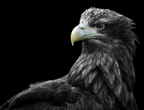 Valen Black White predator experience make a booking falconry centre