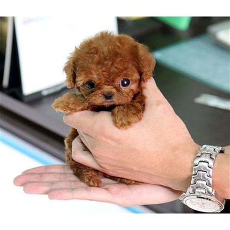 teacup poodle lifespan teacup poodle poodles are the most intelligent breed
