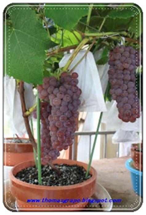 Bibit Anggur Import thomasgrape tabulot anggur