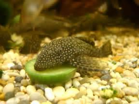 Please, please, pleeeaaaaaaaaase research an individual fish before