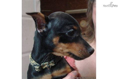 free puppies jonesboro ar min pin puppies for sale breeds picture