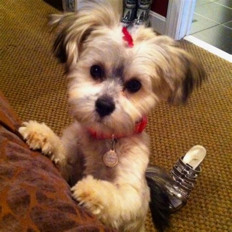 yorkie with a schnauzer cut schnauzer haircuts pictures newhairstylesformen2014