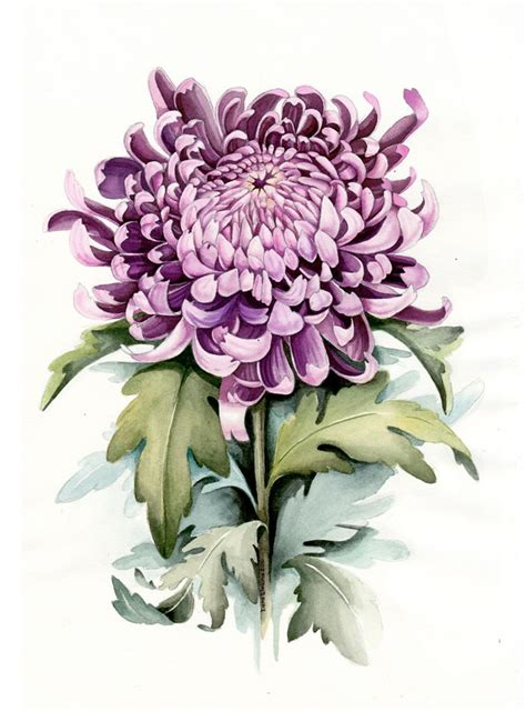 botanical illustration tattoo violet chrysanthemum watercolour botanical illustration