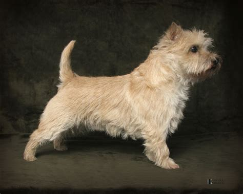 grooming picture for cairn terrier photos of cairn terrier grooming styles