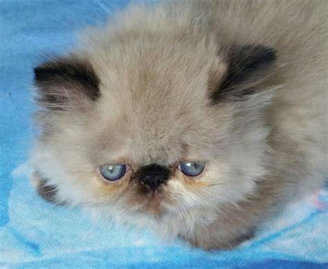 gattini persiani in vendita cuccioli persiani colorpoint vendita gattino persiano a