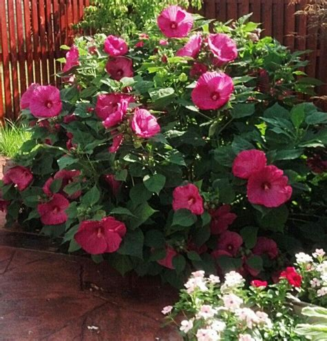 the 25 best ideas about hibiscus bush on pinterest rose of sharon bush hibiscus tree and