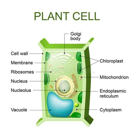 Plant Cell Cross Section by Plant Cell Anatomy Stock Vector Image Of Engineering
