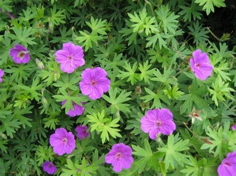 What Garden Zone Am I In By Zip Code - plantfiles pictures hardy geranium cranesbill tiny monster geranium by terri1948