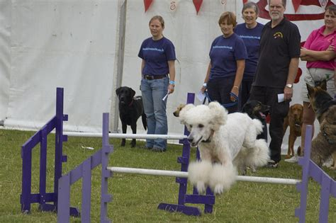 most trainable dogs the 10 most trainable breeds iheartdogs