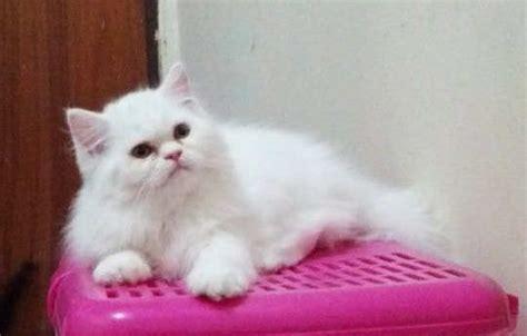 Sho Kucing Yang Bagus perbedaan 4 jenis kucing yang bagus dan cara merawat