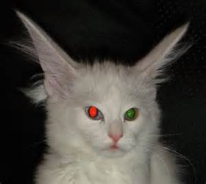 cats with two different colored eyes