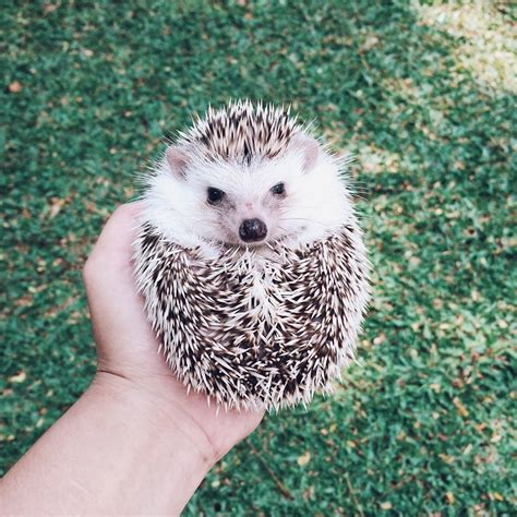 hedgehog for sale hedgehogs pets for sale