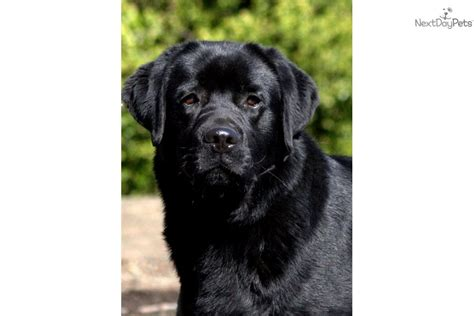 yellow lab puppies oregon labrador retriever for sale for 1 200 near portland oregon f14c705c afb1