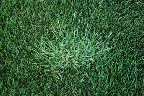 purdue turf tips crabgrass is out in full force in 2016