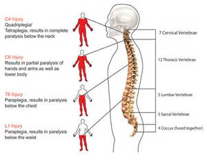 anatomy and physiology coloring workbook answers spinal cord gallery for gt anatomy and physiology of the spinal cord