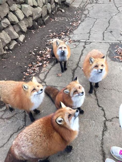more adorable photos from japan s fox village soranews24