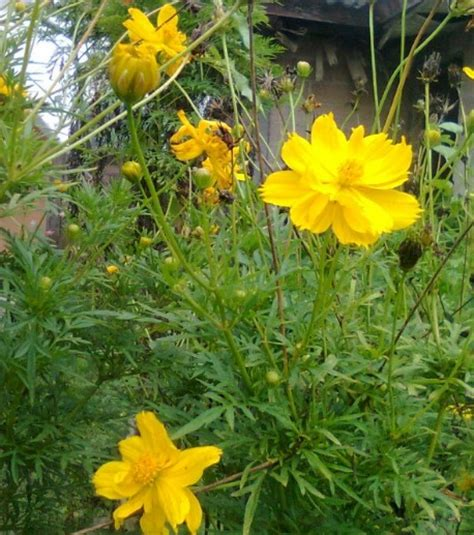 Bibit Benih Biji Kacang Kenearly Yellow Eye benih cosmos bipinnatus bright lights 10 biji non retail