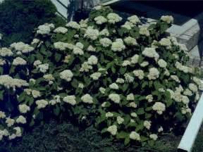 deciduous shrubs