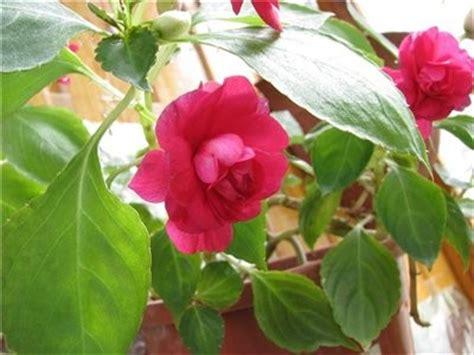doorschijnende bloemen бальзамин комнатный и садовый разновидности всё о