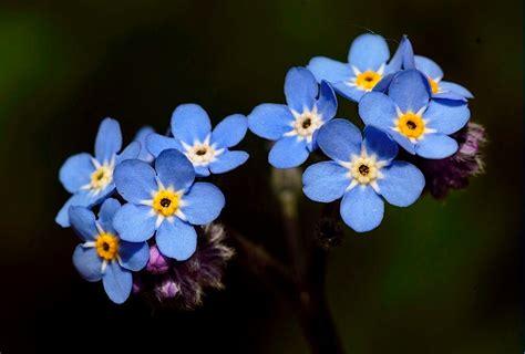 imagenes flores no me olvides no me olvides planta myosotis raspilla sol
