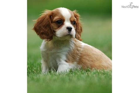 st charles puppy cavalier king charles spaniel for sale for 1 200 near minneapolis st paul