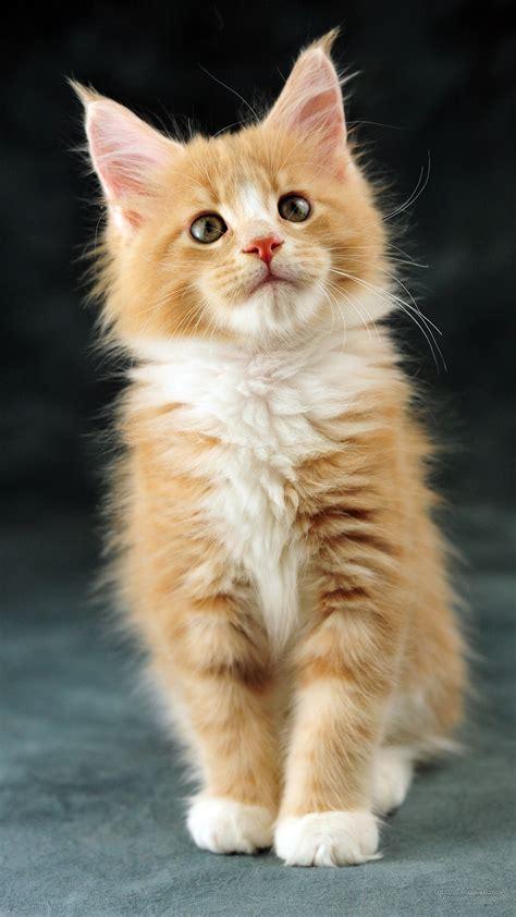 maine coon bicolor kitten american