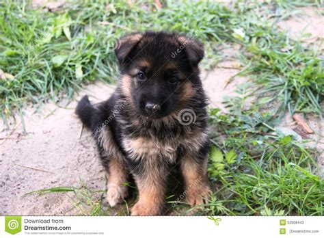 le berger schädlich berger allemand puppy image stock image du britain