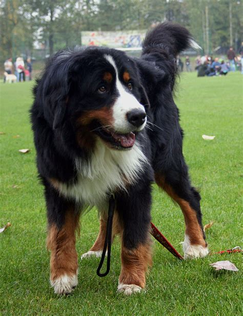 mountain puppies bernese mountain breed 187 info pictures more