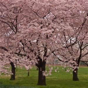 okame cherry blossom tree for sale online the tree center