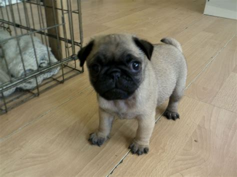 uk pug breeders 2 g0rgeous kc reg cobby pug puppies west drayton middlesex pets4homes