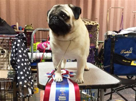 pug club of america pug club of america national specialty saturday september 19 2015 canine