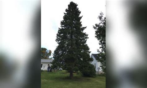 michigan christmas tree association state tree coming from menominee co abc 10 cw 5