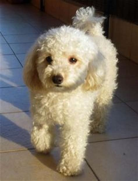 miniature french poodle hairstyles poodle bichon mix haircut style aww makes me want