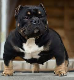 tri color bullies tri color pitbulls bully history black models picture