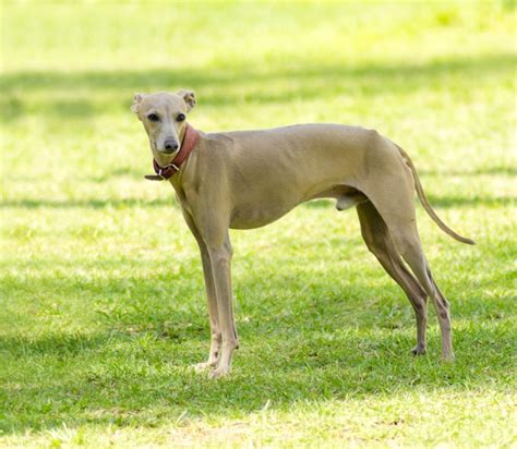 Do Greyhounds Shed Hair by 100 Do Italian Greyhounds Shed Italian Greyhound Page 1 7 Great Hypoallergenic Breeds