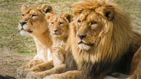 imagenes de unos leones leones