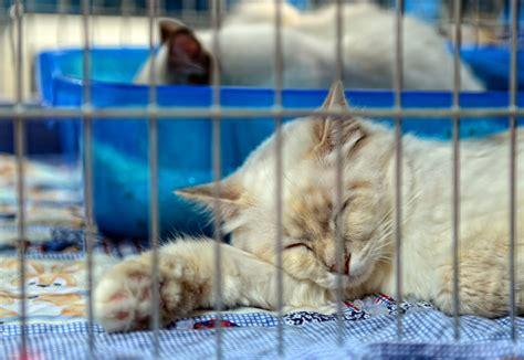 allevamento gatti persiani lombardia allevamenti gatti persiano in italia caroldoey