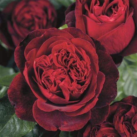 rose admiral  kaufen rosen tantau