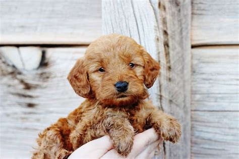 goldendoodle puppy personality 5 week mini goldendoodle teddy from copper