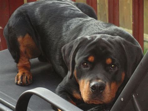 rottweiler reason 14 reasons rottweilers are the worst indoor breeds of all time page 3 of 4