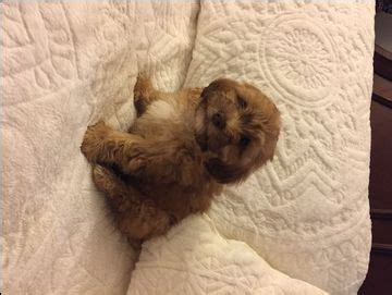puppies for sale in frederick md best 25 shih poo ideas on