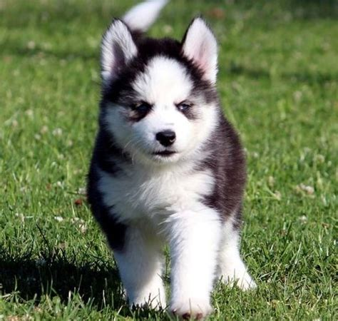 husky puppies for sale las vegas siberian husky puppies for sale las vegas nv 252855