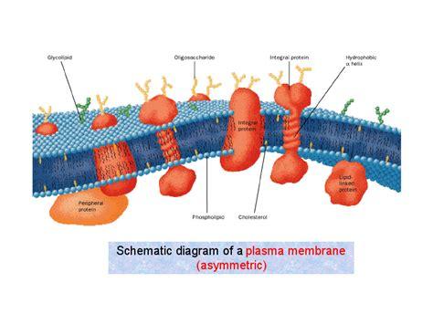plasma membrane diagram schematic diagram of a plasma membrane asymmetric