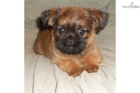 shiffon puppies brussels griffon puppy for sale near southeast missouri missouri eccd574b 23f1