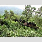Mountain Gorilla Habitat   650 x 487 jpeg 187kB