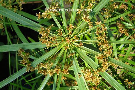 small white flower plant is unbrella like umbrella plant cyperus rainwear