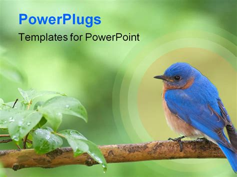 powerpoint themes birds horizontal photo of eastern bluebird perched on limb
