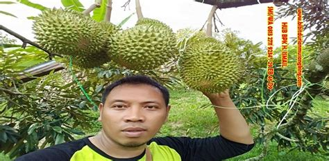 bibit durian musang king asli bibit durian montong
