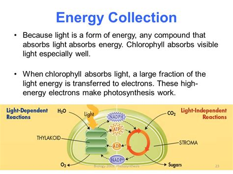 chlorophyll absorbs light well in the biology 2009 photosynthesis ppt